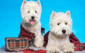 Picture white, puppies, York, tartan