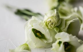 Picture macro, flowers, eustoma