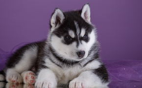 Picture puppy, husky, breed