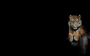 Picture look, strips, tiger, background, minimalism, the Tigrusha