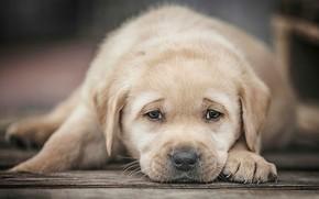Picture look, dog, puppy, face, Labrador Retriever