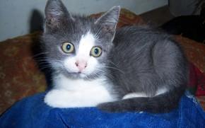 Picture look, grey, kitty, smoky, Meduzanol ©