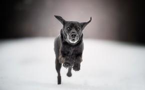 Picture snow, dog, running, walk, bokeh