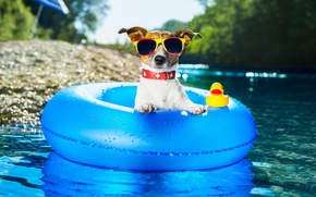 Picture water, round, dog, glasses, Jack Russell Terrier