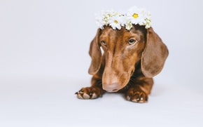 Picture face, flowers, dog, white background, Dachshund, wreath