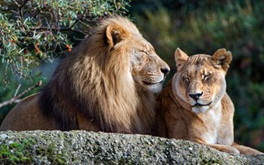 Wallpaper Leo, stone, cats, zoo, pair, love, lie, nature, background, stay, branches, lioness, family, leaves, wild ...