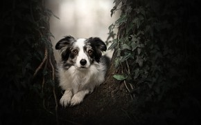 Picture look, tree, portrait, dog, ivy, The border collie