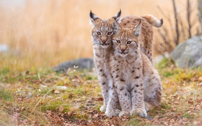 Picture autumn, forest, grass, leaves, cats, branches, nature, stones, background, portrait, pair, wild cats, lynx, lynx, ...