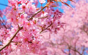 Picture tree, Nature, spring, Sakura, flowering
