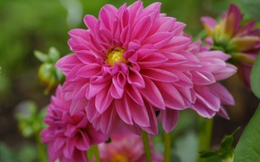 Wallpaper Georgina, dahlias, Bokeh, Pink flower, Pink flower