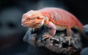 Picture orange, reptile, Bearded Dragon