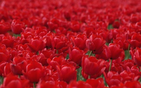 Picture red, tulips, buds