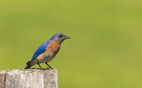 Picture nature, bird, beak, East sialia