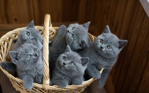 Picture animals, basket, kittens, the British, cubs