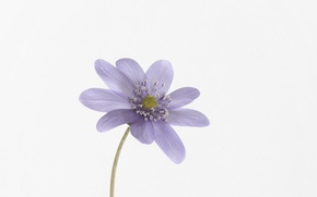 Picture macro, nature, petals, anemone tender