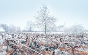 Picture winter, frost, fog, vineyard