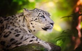 Picture predator, IRBIS, snow leopard, big cat