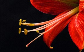 Picture flower, background, Lily, petals, stamens