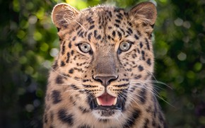 Picture face, portrait, predator, leopard, handsome