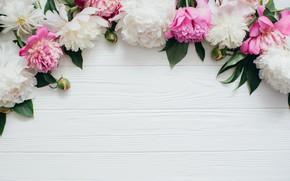 Wallpaper flowers, pink, white, white, buds, wood, pink, flowers, peonies, peonies