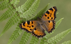 Picture butterfly, wings, insect, the large tortoiseshell