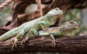 Picture nature, pair, trunk, lizards