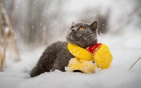 Wallpaper cat, winter, scarf, snow, British, animal