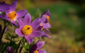 Picture petals, sleep-grass, cross, anemone