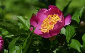 Picture macro, petals, peony