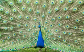 Wallpaper bird, feathers, tail, peacock, color