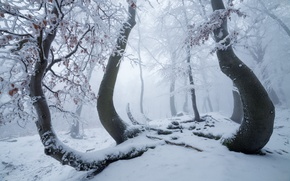Picture winter, forest, snow, trees, nature