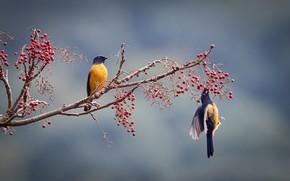 Picture birds, berries, branch, a couple, niltava