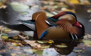 Picture autumn, leaves, water, nature, lake, pond, stay, bird, sleep, sleeping, duck, pond, bright plumage, tangerine