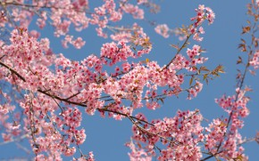 Picture spring, flowering, bloom, cherry, blossom, pink, Sakura, sakura, the sky, branches, spring