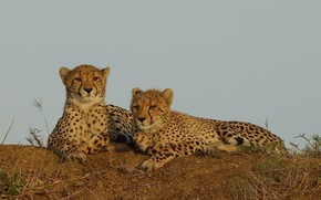 Picture the sky, stay, cheetahs