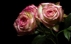 Picture leaves, flowers, roses, bouquet, pink, black background, buds