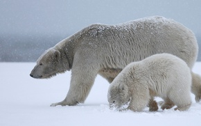 Picture winter, white, the sky, snow, nature, together, bear, family, bears, white, bear, white, two, polar ...