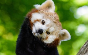 Picture look, muzzle, red panda, Red Panda