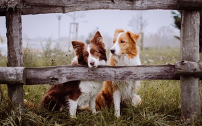 Picture dogs, the fence, friends