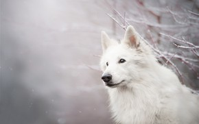 Picture look, face, snow, branches, dog, bokeh, The white Swiss shepherd dog