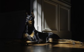 Picture look, dog, lies, doberman