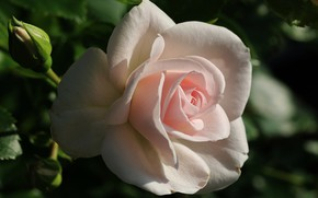 Picture Rose, Rose, Bokeh