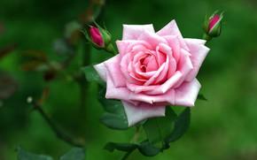 Picture pink, rose, petals