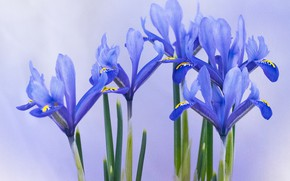 Picture background, petals, irises