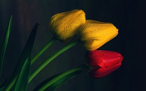 Picture drops, tulips, buds