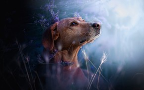 Picture grass, flowers, dog, lavender, bokeh