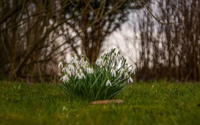 Picture nature, plant, snowdrops