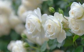 Picture macro, roses, petals, buds, white roses, bokeh