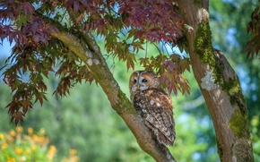 Picture nature, tree, owl
