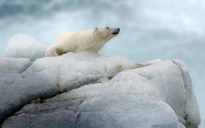 Picture bear, iceberg, floe, polar bear, polar bear
